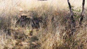 pride the cheetah