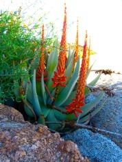 Desert Plants Namibia
