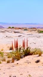 Desert Plants Namibia.