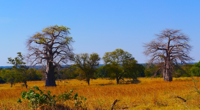 Baobabs of the Okavango.