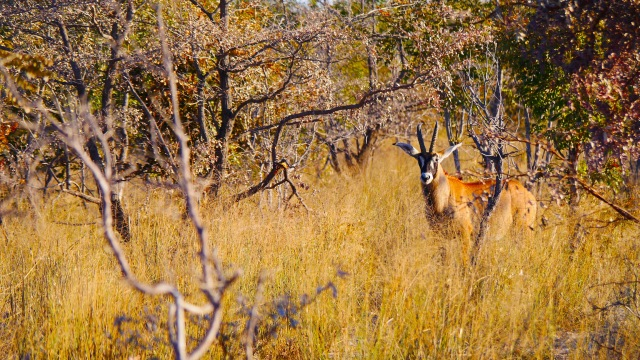 Okavango Roan Antelope