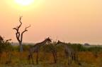 Giraffes at Sunset, Savuti
