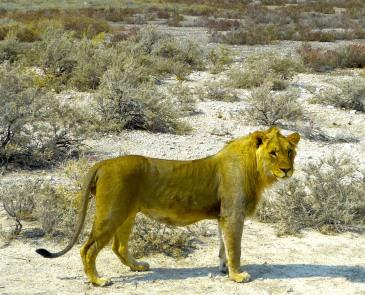 Lion_Etosha_230516
